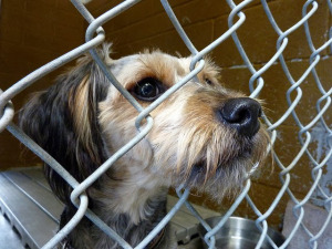 animal-shelter-dog